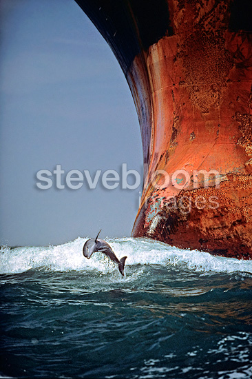 Bottlenose dolphin leaping playfully in the bow wave of a Texan ship.