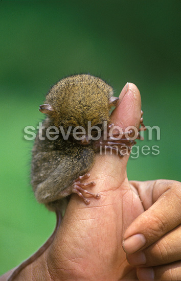 Young WesternTarsier on human hand Sumatra Indonesia