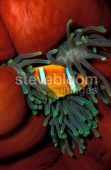 Twoband anemonefish in its Anemone, Red Sea, Egypt