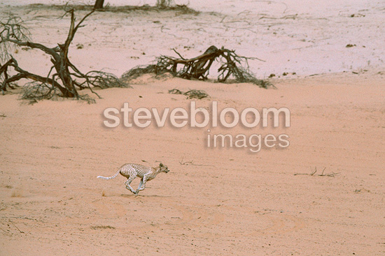 Saharan Cheetah running in the desert, Tenere, Niger, Africa