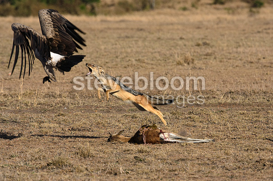 Black-Backed Jackal  protecting it prey from vultures Kenya�