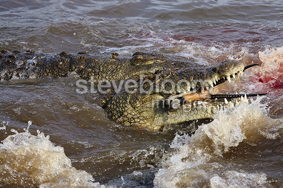Nile Crocodile eating a gazelle Masaï Mara reserve Kenya