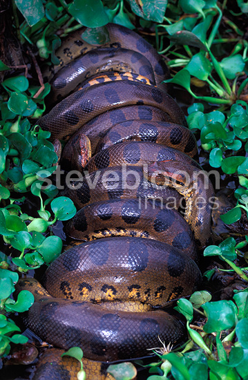 Multiple male green anacondas mating with a single female,  Llanos Venezuela