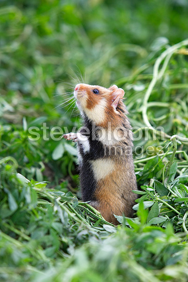 European Hamster in the grass, Alsace, France