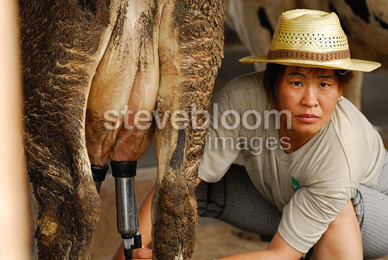 Portrait of a woman milking a cow China