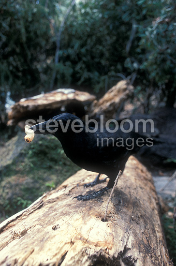 New Caledonian Crow having dislodged a larva with a twig, New Caledonia