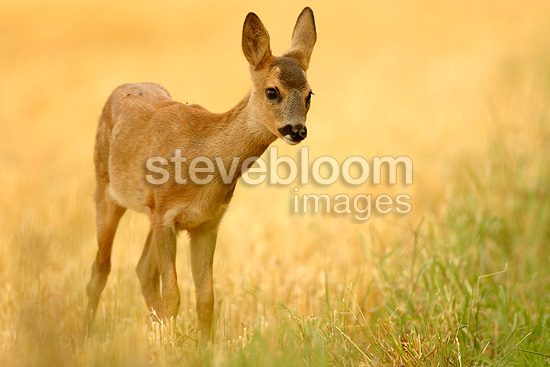 Fawn of Roe-deer walking in a thatch field, France