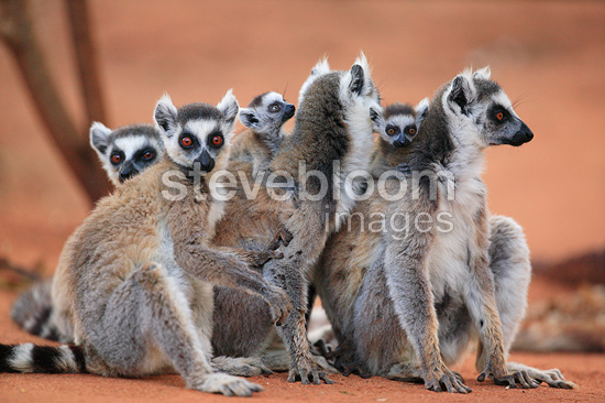 Ringed-tailed Lemur female and young, Berenty Reserve, Madagascar