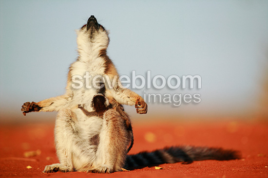 Ringed-tailed Lemur female with baby warming herself, Berenty Reserve, Madagascar