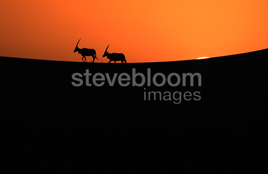 Arabian oryx at sunset Saudi Arabia