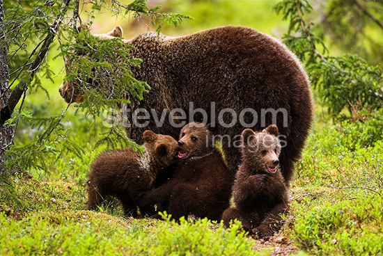 Brown bear female and young, Kainuu, Finland