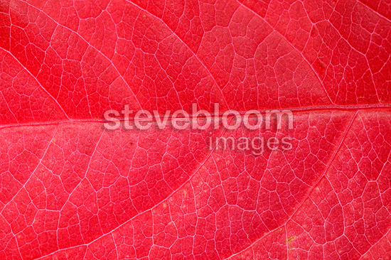 Close-up of a Virginia creeper leaf in autumn France