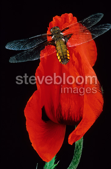 Dragonfly posed on a flower of Poppy