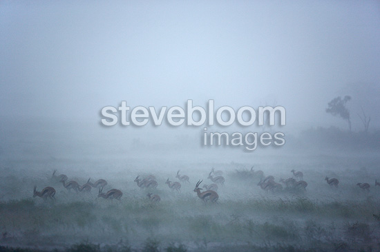 Thomson's Gazelles in the mist Masai Mara  Kenya (Thomson's gazelle )