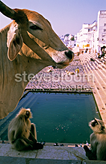Langurs and sacred cow overhanging a pool Pushkar India (Langur)