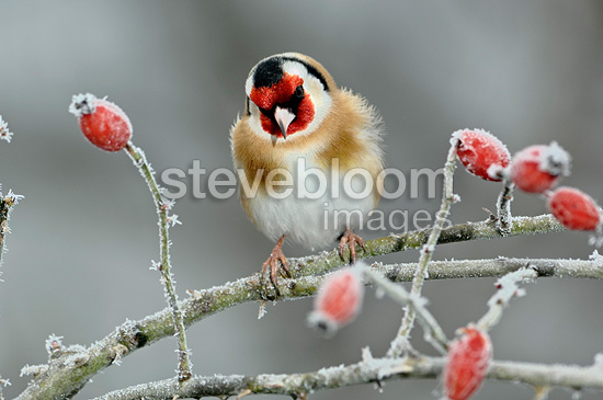 Goldfinch on a frosted Wild Dog Rose Limousin France (Goldfinch)