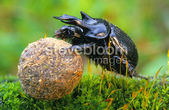 Stag beetle rolling a dropping of rabbit Bas-Rhin France
