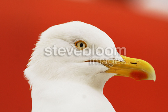 Portrait of a Herring gull on a red boat (Herring Gull)