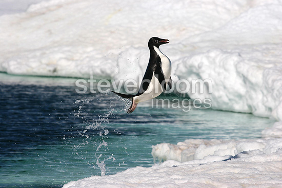 Adelie penguin leaving water Terre Adelie (Adelie penguin)