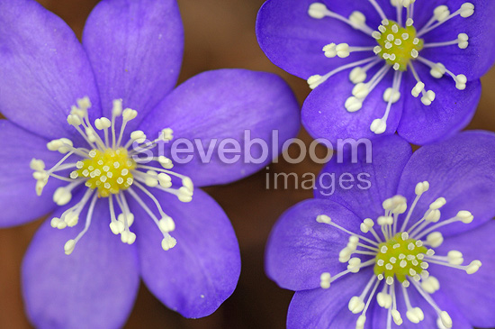 Hepatic anemone flowers in close-up France