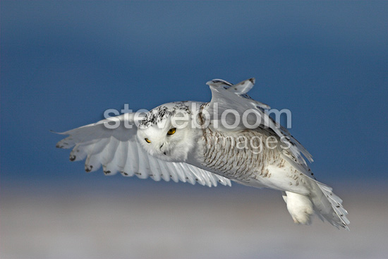 Snowy Owl in flight in search of a prey Canada (Snowy Owl)