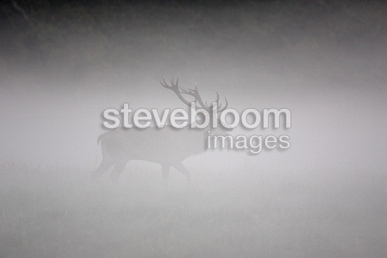 Red Deer taking its territory  in the fog (Red deer)