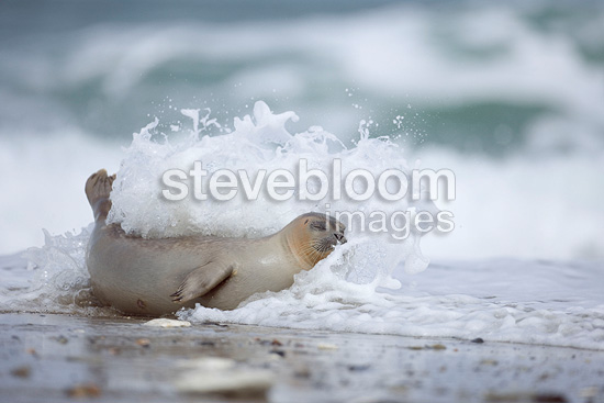 Harbor seal rolling itself in the waves Germany (Harbor Seal)