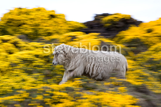Sheep galloping among flowering Gorses in Falkland Islands (Sheep)