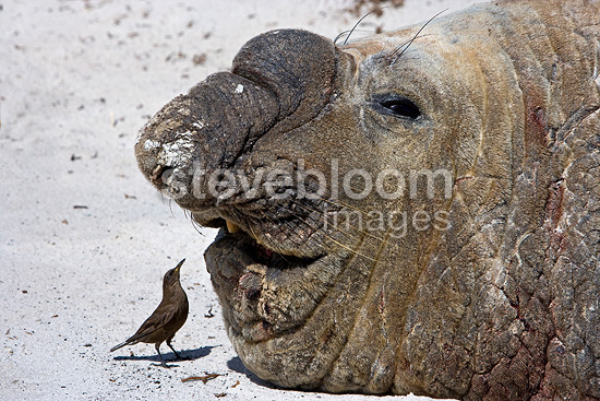 Old male Elephant seal and passeriforme in Falkland Islands (Southern elephant seal )