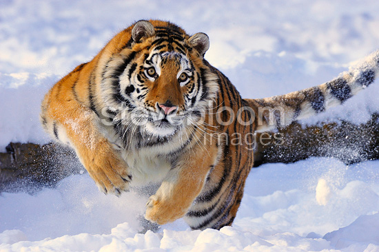 Group Of Tiger Running On The