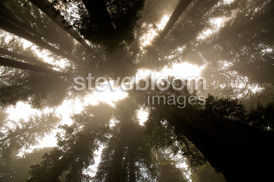 Mist in Redwoods National Park California USA