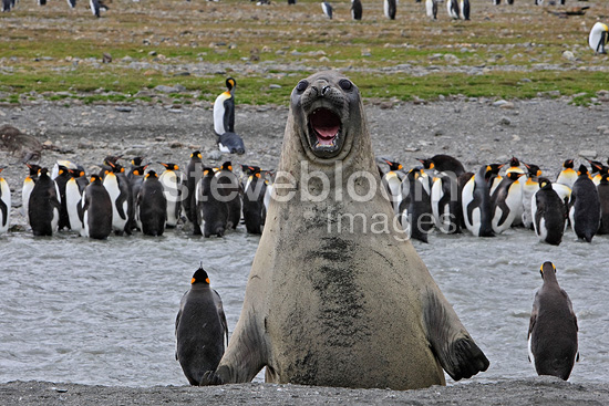 Agressive Southern Elephant seal face to King Penguins (Southern elephant seal)