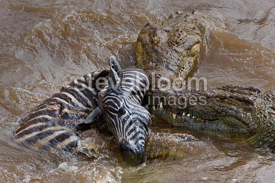 Nile crocodile eating zebra - photo#2