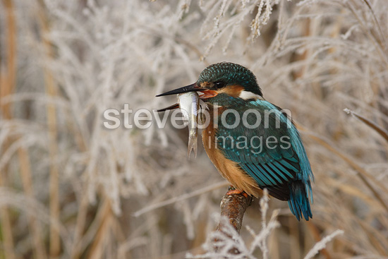 Kingfisher in Europe holding a fish in its beak (Kingfisher)