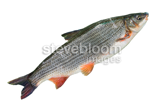 Adult Common nase on white background Balgau  (Common Nase)