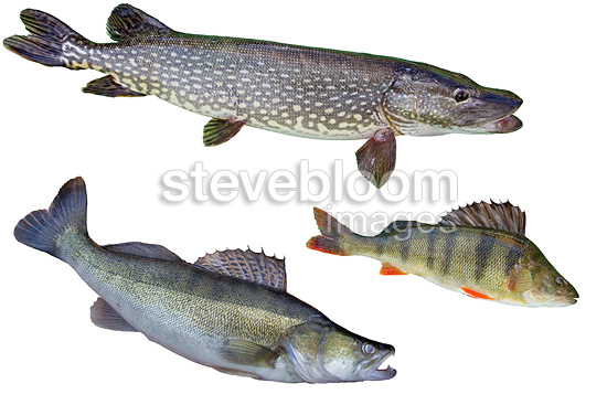 three freshwater carnivorous fish northern pike