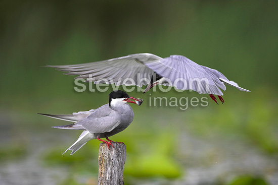 Offering during a courtship of Whiskered terns France (Whiskered tern)