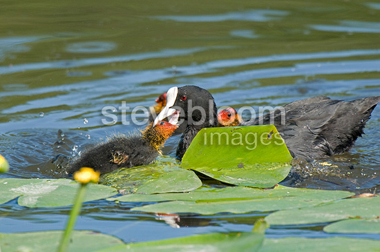 Eurasian Coot female feeding her youngs France (Common Coot)