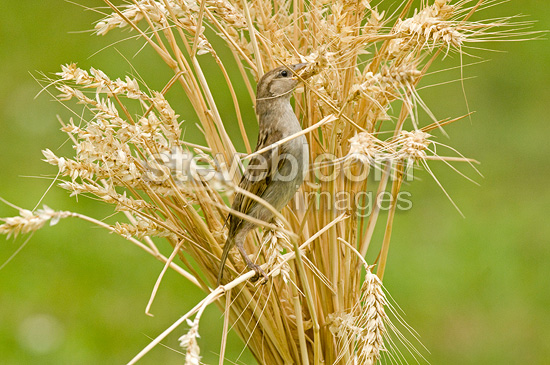 House Sparrow eating in the wheat France (House Sparrow)