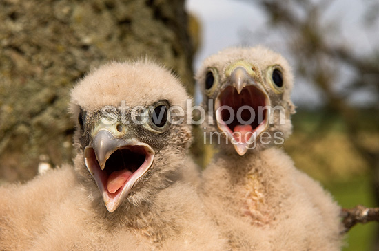 Young Common Kestrels in nest