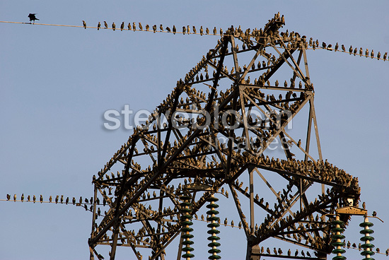 Common Starlings on a high tension line (Common Starlings)
