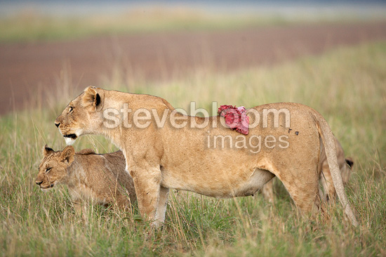 Cub Lioness and piece of flesh Masai Mara Kenya (African lion)