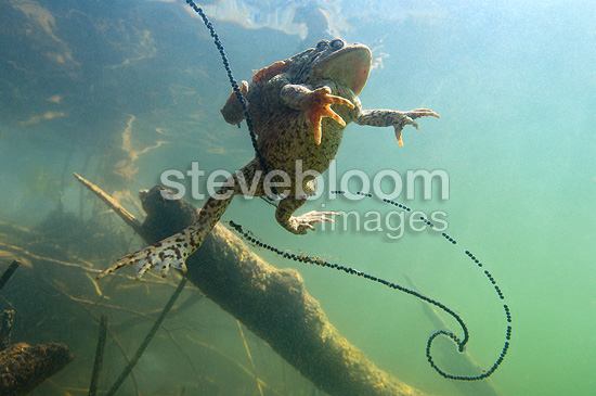 Common toad mating and egg-laying Lake of Jura France