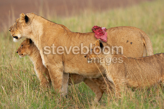 Lion cubs and Lioness with piece of flesh Masai Mara Kenya (African lion)