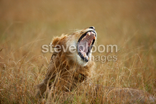 Lion yawning under the rain Masai Mara Kenya (African lion)