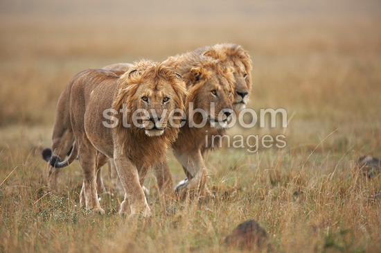 Lions walking under the rain Masai Mara Kenya (African lion)