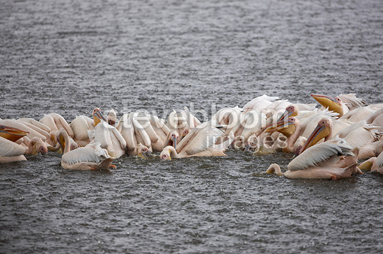 Fishing collective White Pelicans on Lake Nakuru Kenya  (Great White Pelican)