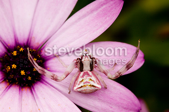 Portrait of a Crab Spider on a flower France