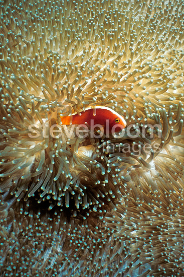 Yellow Clownfish in its host anemone Malaysia