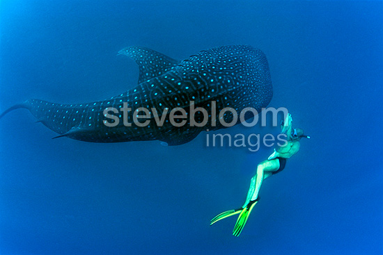 Swimmer photographing a Whale Shark in the Maldives (Whale Shark )